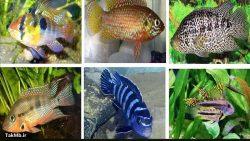 انواع ماهی سیچلاید یا سیکلید (Cichlid)