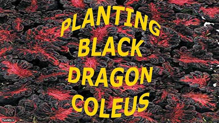 کاشت حسن یوسف از نوع Dragon Coleus در باغچه
