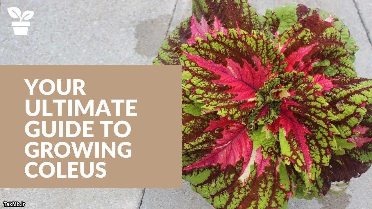 راهنمای کامل مراقبت از حسن یوسف - از کاشت بذر تا گل دادن