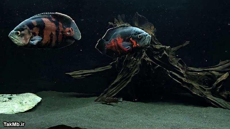 نمایی شگفت انگیز از یک جفت ماهی اسکار
