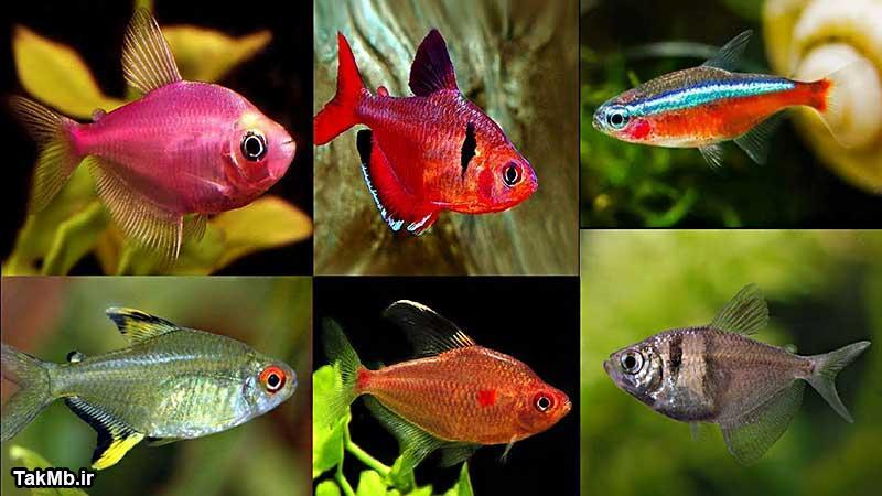 معرفی 30 نوع ماهی تترای زیبا