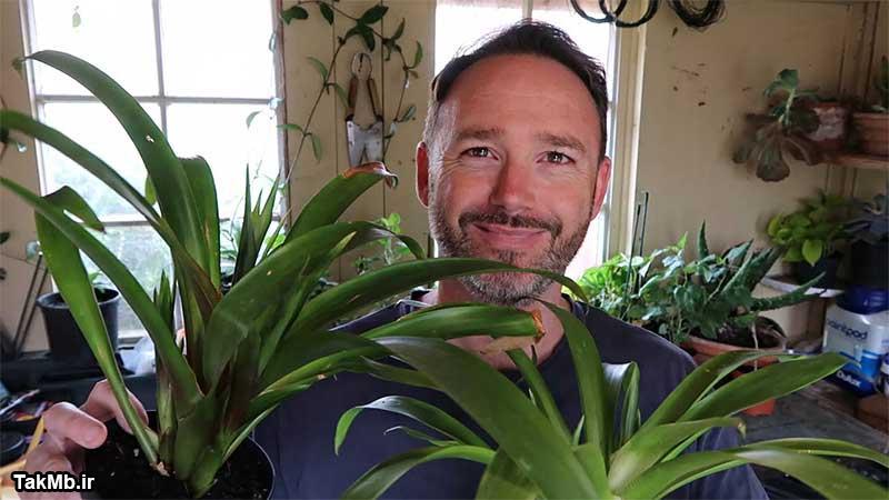آموزش مراقبت و تکثیر گیاه گازمانیا یا آناناسی